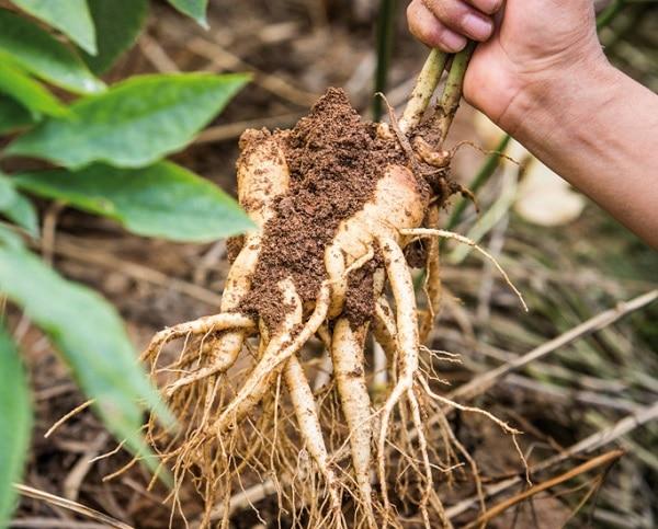 Cây sâm đất có tác dụng gì? Điểm danh những công dụng tuyệt vời của cây sâm đất tới sức khỏe - Ảnh 2.