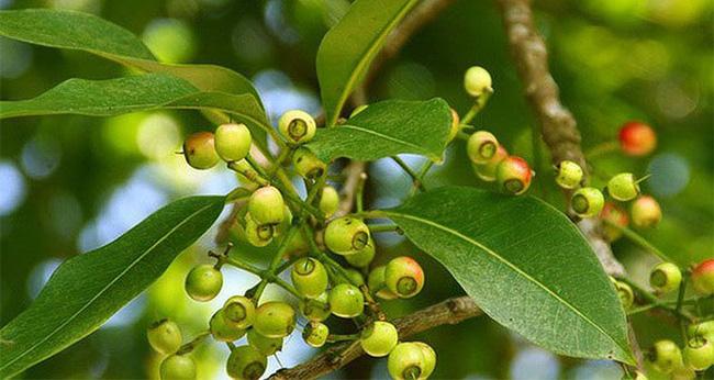 Tác dụng của lá vối với sức khỏe con người - món quà từ thiên nhiên - Ảnh 2.
