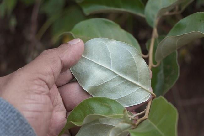 Nhót chín rộ đầu tháng 4, ít người biết đến tác dụng chữa bệnh của quả nhót - Ảnh 4.