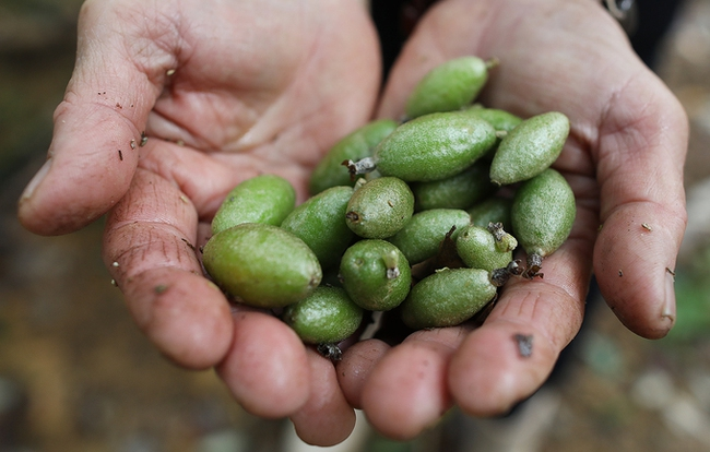 Nhót chín rộ đầu tháng 4, ít người biết đến tác dụng chữa bệnh của quả nhót - Ảnh 6.