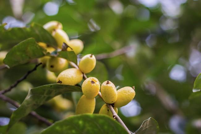 Nhót chín rộ đầu tháng 4, ít người biết đến tác dụng chữa bệnh của quả nhót - Ảnh 3.