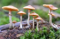 Sự nguy hiểm của nấm thức thần: Thứ ma túy giới trẻ vẫn lầm tưởng là an toàn và không gây nghiện