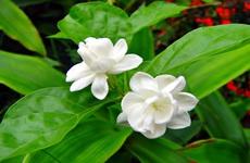 Hoa nhài: Điểm danh những tác dụng của hoa nhài đối với sức khoẻ