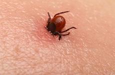 Nên làm gì khi bị bọ mò đốt?