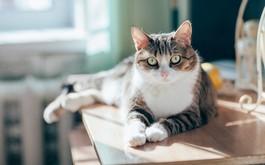 Phát hiện mới: Mèo phát kháng thể chống COVID-19