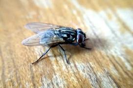 Ruồi có thể nhiễm và lây lan Covid-19 không?