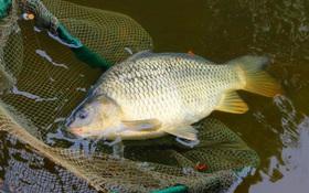 Cách nấu cháo cá chép cho bà bầu không chỉ thơm ngon mà còn bổ dưỡng