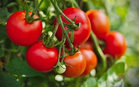Ăn cà chua có tốt không? Những lưu ý khi ăn loại quả này