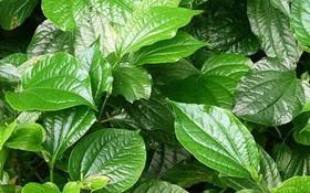7 tác dụng của lá lốt và những điều cần biết về loài cây thú vị này