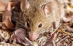 Ít nhất 11 người tử vong do lây nhiễm virus hanta nguy hiểm từ chuột