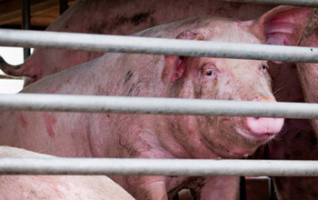 Bệnh cúm lợn H1N1 lây qua đường nào? Cẩn thận với chủng virus mới G4 EA H1N1 có thể lây lan sang người!