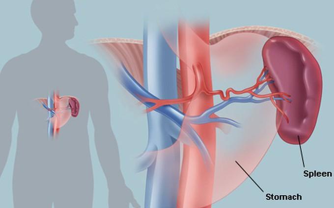 A-Z về lá lách và các bệnh về lá lách